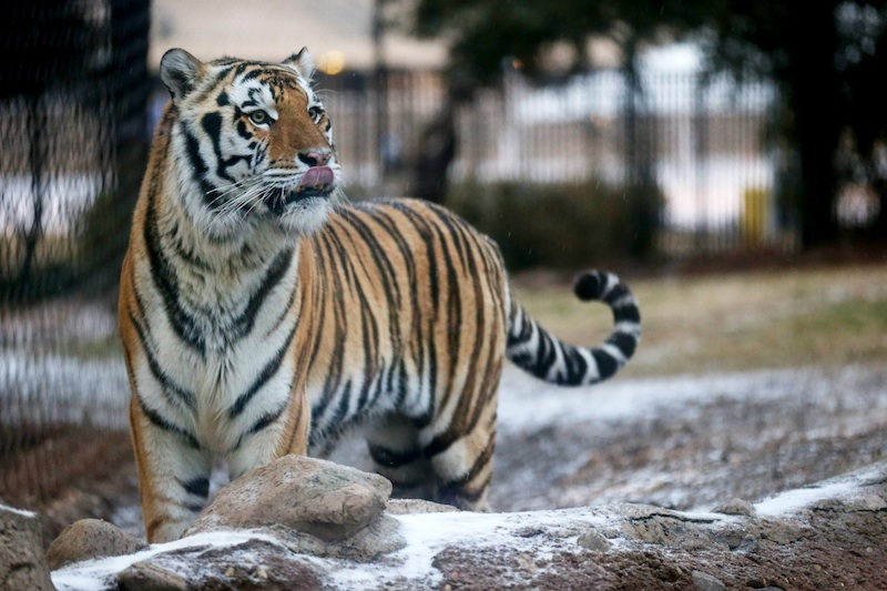 Who S Afraid Of Lsu S Mike The Tiger Apparently Not